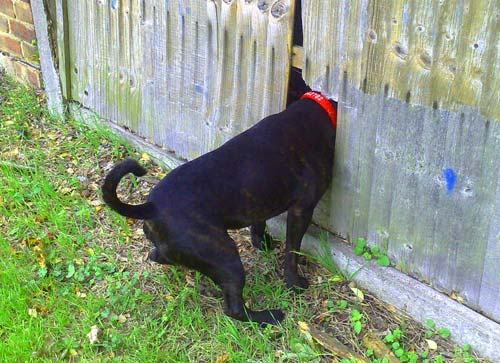 Jumping The Fence And Getting Loose The Dog Obedience